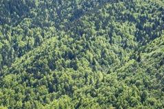 Fjädra skogen med lärker, granar och sörjer Arkivfoton