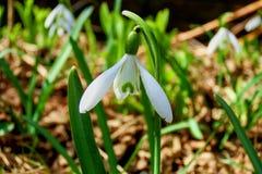 Fjädra snödroppar, den anspråkslösa budbäraren av våren royaltyfria foton