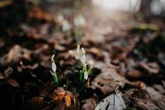 Fjädra snowdrops arkivfoto