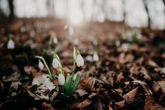 Fjädra snowdrops royaltyfria bilder