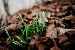 Fjädra snowdrops royaltyfri fotografi