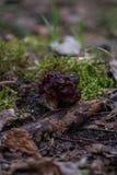 Fjädra svampGyromitra esculenta bekant som falsk morel Arkivbild