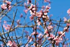 Fjädra tätt upp av härliga rosa blomma blommor för nektarinträdet med kronblad Royaltyfri Fotografi