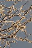 Fjädra trädet för den körsbärsröda blomningen på en solig dag med ett sepiafilter Royaltyfri Bild
