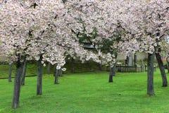 Fjädra trädgården med majestically att blomstra körsbärsröda träd på en grön gräsmatta Royaltyfri Fotografi