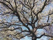 Fjädra treen i blom arkivbilder