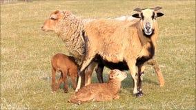 Fjädra, två tackor och två lamm, brunt, äng stock video