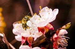 Fjädra upp blomningaprikosträdet, slut, humlan, bakgrund arkivbilder
