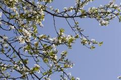 Fjädra vita blommor av ettträd i en parkeranärbild Royaltyfri Bild