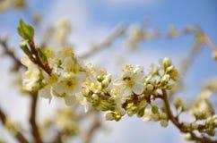Fjädra vita blommor, härlig blomningträdfilial i vårtid Arkivbild