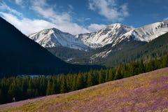 Fjädra wiev av krokusar i chocholowskadalen i det Tatra berget Royaltyfria Bilder
