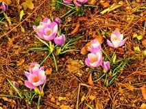 Fjädrade vårviolets på kanten av en skog 10 Royaltyfri Bild