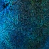 Fjädrar av en fågel (påfågeln) Royaltyfri Foto