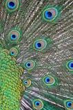 Fjädrar av en påfågel Royaltyfri Bild