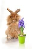 Sammanträdekanin och fjädrar hyacintet Royaltyfri Foto