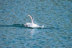 Fjädrar för anser för anser för grågåsgås putsa och tvättande på en sjö med den simhudsförsedda foten i luften i vår fotografering för bildbyråer