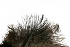fjädrar isolerade ostrichen Royaltyfria Bilder