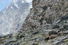 Fjällängar - alpina faunor - Rupicaprarupicaprarupicapra - stående av manliga Kozica Rupicaria mot bakgrunden av alpina maxima Royaltyfria Bilder