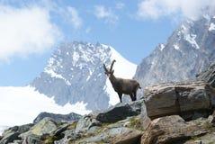 Fjällängar - alpina faunor - Rupicaprarupicaprarupicapra - stående av manliga Kozica Rupicaria mot bakgrunden av alpina maxima Royaltyfria Foton