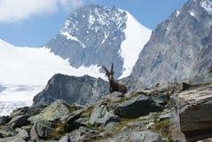 Fjällängar - alpina faunor - Rupicaprarupicaprarupicapra - stående av manliga Kozica Rupicaria mot bakgrunden av alpina maxima Arkivfoto