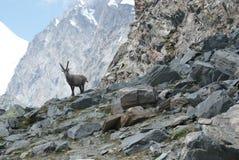 Fjällängar - alpina faunor - Rupicaprarupicaprarupicapra - stående av manliga Kozica Rupicaria mot bakgrunden av alpina maxima Arkivfoton