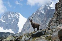 Fjällängar - alpina faunor - Rupicaprarupicaprarupicapra - stående av manliga Kozica Rupicaria mot bakgrunden av alpina maxima Royaltyfri Fotografi