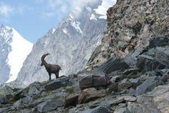 Fjällängar - alpina faunor - Rupicaprarupicaprarupicapra - stående av manliga Kozica Rupicaria mot bakgrunden av alpina maxima Arkivbild