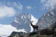 Fjällängar - alpina faunor - Rupicaprarupicaprarupicapra - stående av manliga Kozica Rupicaria mot bakgrunden av alpina maxima Fotografering för Bildbyråer