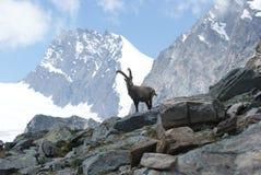 Fjällängar - alpina faunor - Rupicaprarupicaprarupicapra - stående av manliga Kozica Rupicaria mot bakgrunden av alpina maxima Royaltyfri Foto