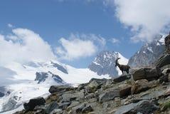 Fjällängar - alpina faunor - Rupicaprarupicaprarupicapra - stående av manliga Kozica Rupicaria mot bakgrunden av alpina maxima Arkivbilder