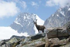 Fjällängar - alpina faunor - Rupicaprarupicaprarupicapra - stående av manliga Kozica Rupicaria mot bakgrunden av alpina maxima Royaltyfri Bild