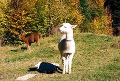 Fjällängar landskap med alpacas arkivbilder