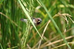 Fjällig gången mot Munia fågel som är hållande på risväxten och att äta irländaren Arkivfoto