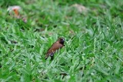 Fjällig gången mot Munia fågel som äter vallfrö på gräsmattan Fotografering för Bildbyråer