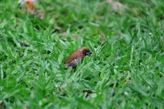 Fjällig gången mot Munia fågel som äter vallfrö på gräsmattan Royaltyfria Bilder