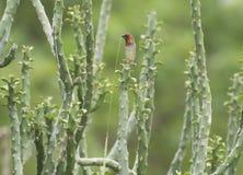 Fjällig-gången mot Munia sparv och kaktusväxt Fotografering för Bildbyråer