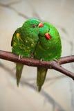 Fjällig-gick mot Lorikeet, Trichoglossuschlorolepidotus, par av den gröna papegojan som sitter på filialen, kurtisförälskelsecere Arkivbild