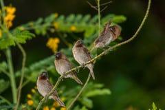 Fjällig-gick mot Munia, fågel Royaltyfri Foto