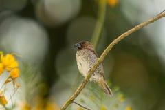Fjällig-gick mot Munia, fågel Royaltyfri Fotografi