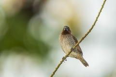 Fjällig-gick mot Munia, fågel Arkivbilder