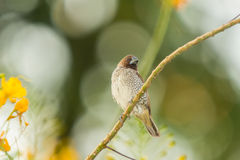 Fjällig-gick mot Munia, fågel Arkivfoton
