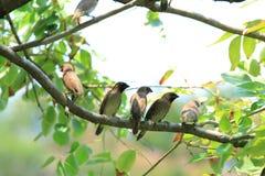 Fjällig-gick mot Munia fåglar på filialen Arkivfoton
