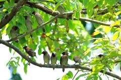 Fjällig-gick mot Munia fåglar på filialen Royaltyfri Bild