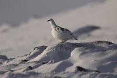 Fjällripa Lagopusmuta, slut upp ståenden, medan sitta som lägger på snö under vinter i vinter-/sommarlag under autumn/wi Arkivfoton