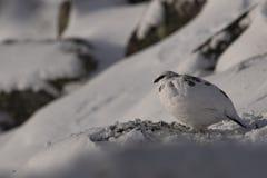 Fjällripa Lagopusmuta, slut upp ståenden, medan sitta som lägger på snö under vinter i vinter-/sommarlag under autumn/wi Royaltyfria Foton