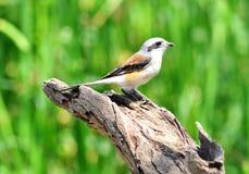 Fjärd-dragen tillbaka törnskatafågel, fågel royaltyfri bild