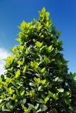 Fjärd Laurel Laurus Nobilis Tree royaltyfria foton
