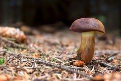Fjärdbolete - soppbadius, Xerocomus badius i skog Arkivbild