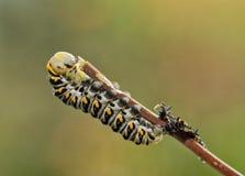 Fjärde instar av den svarta Swallowtail fjärilslarven som är höger, når att ha ruggat arkivbilder