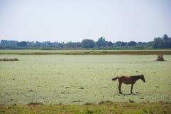Fjärdhäst bara i fältet arkivbild